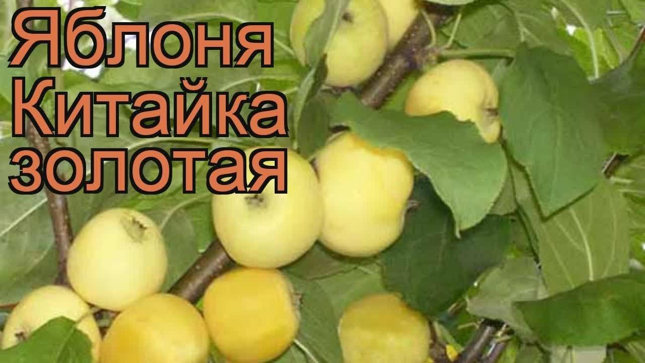 Яблоня золотая китайка | domogorodnika.ru