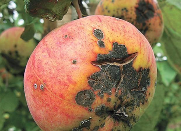 Как весной обработать крыжовник от болезней и вредителей?