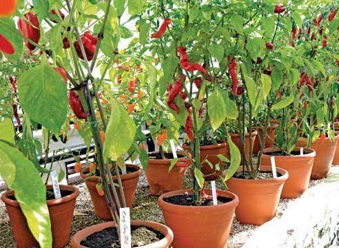 Как вырастить жгучий перец из семян дома
