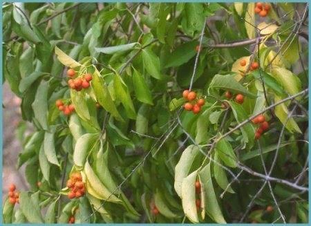 Древогубец – выращивание, размножение, посадка и уход