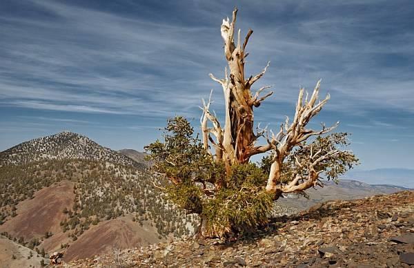 Продолжительность жизни деревьев