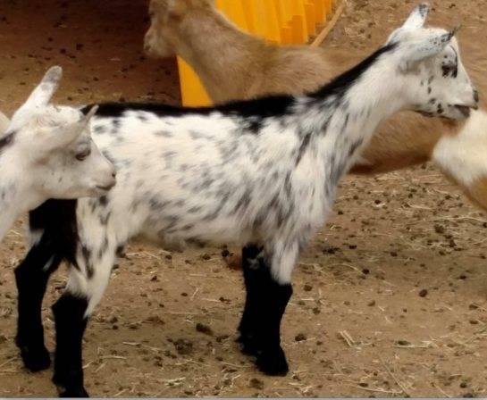 Карликовые породы коз с фото и описанием