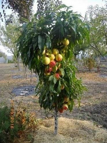 Персик колоновидный посадка и уход. правила ухода за колоновидными персиками
