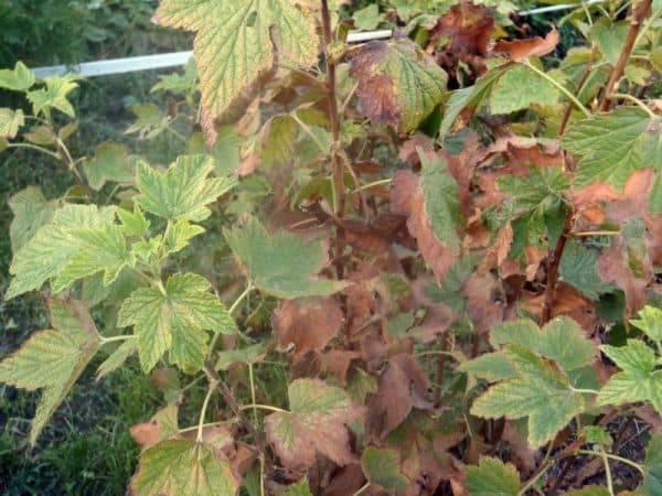 Почему у смородины листья светло зеленого цвета