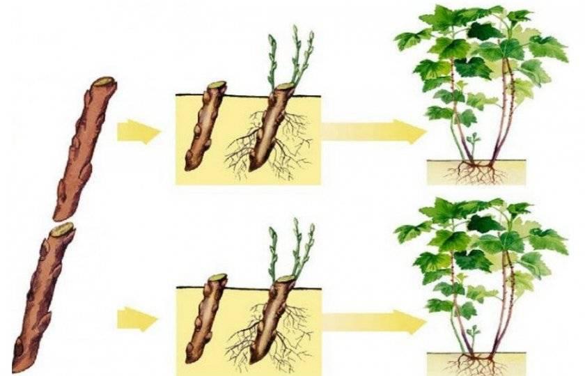 Размножение черной смородины черенками: весной, летом, осенью