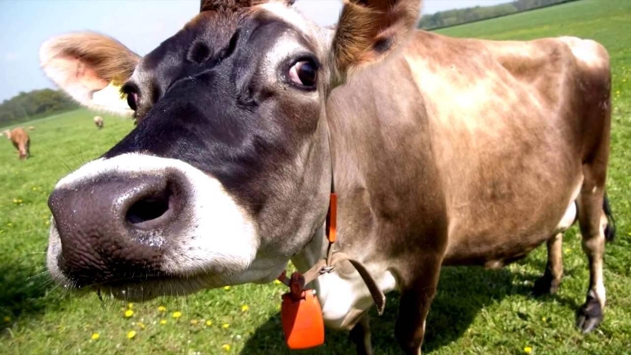 Образование молока у коровы