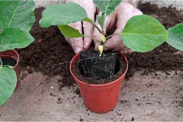 6 правил, когда сеять баклажаны на рассаду: секреты огородника.   красивый дом и сад