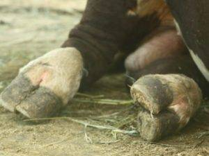 Особенности строения копыт у коровы, частые заболевания, правила лечения и профилактики