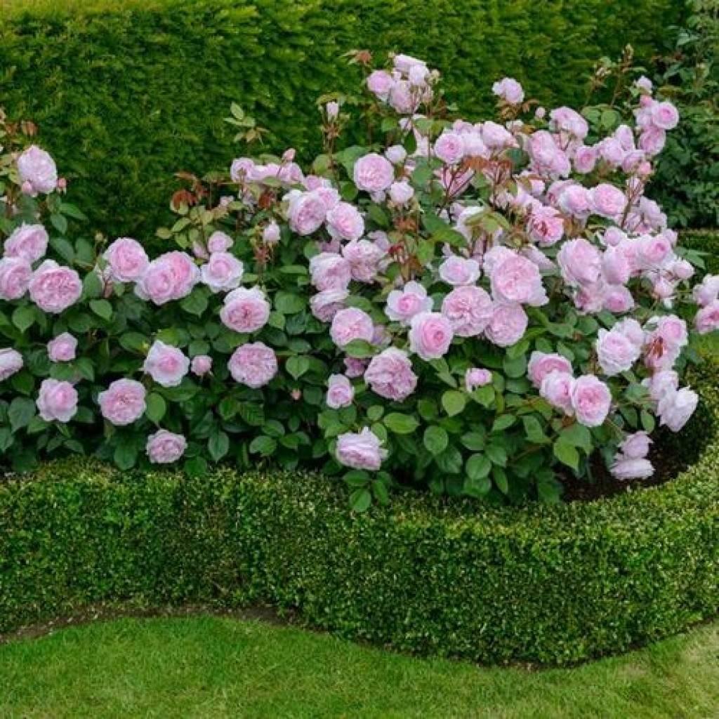 Тонкости ландшафтного дизайна: правила выбора и посадки хвойных растений