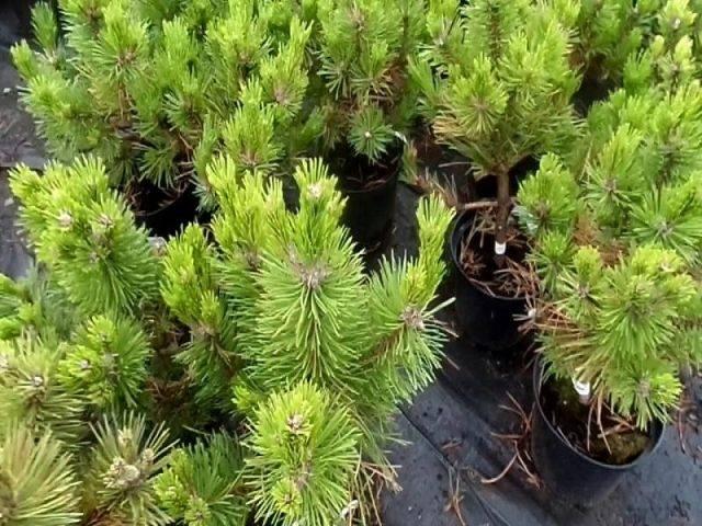 Сосна черная грин тауэр (pinus nigra green tower)