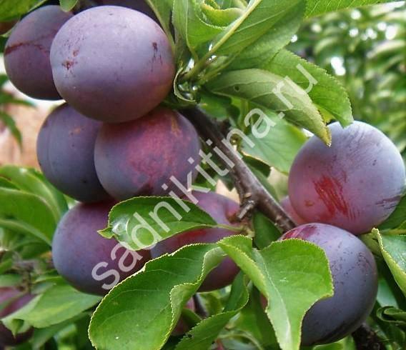 Слива маньчжурская красавица: описание сорта и опылители, выращивание и уход с фото