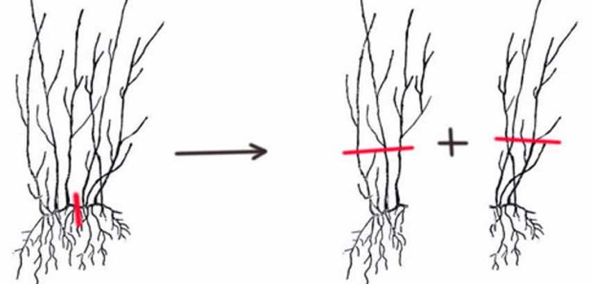 Размножение гортензий: черенкование метельчатой и древовидной гортензий