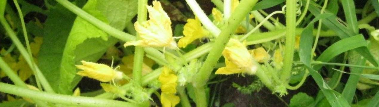 Почему огурцы пустоцветы в теплице?