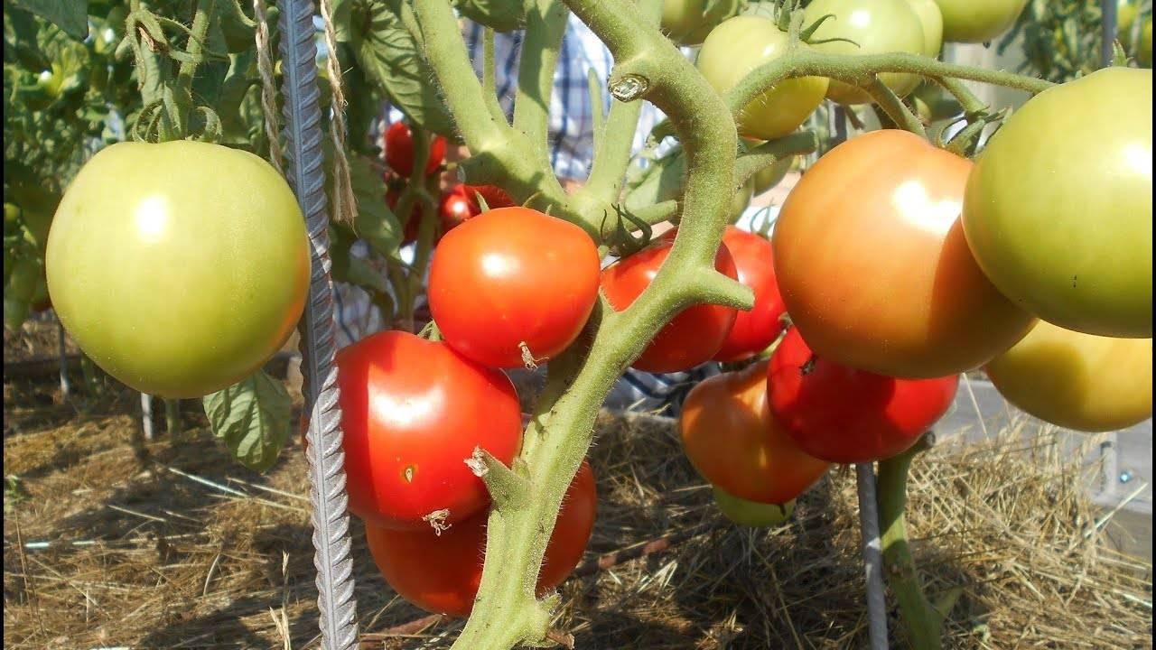 Томат дар заволжья: описание сорта и 8 шагов выращивания