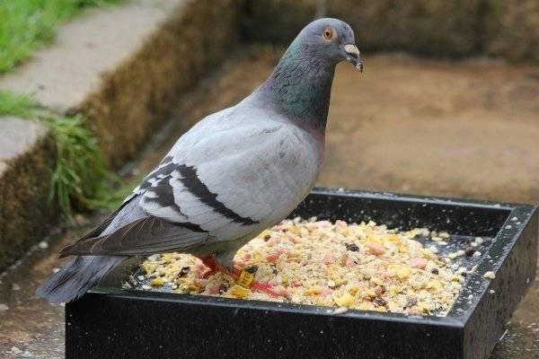 Чем питается голубь: список продуктов