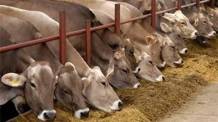 Привязное и беспривязное содержания коров.какой способ выбрать?