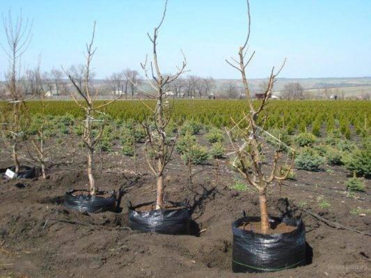 Пересадка вишни на новое место весной, летом: сроки и правила