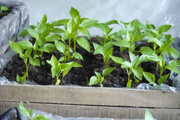 Выращивание рассады перца сладкого из семян в домашних условиях: посадка, пикировка, подкормка