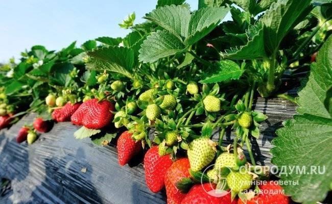 Клубника тристан f1: описание сорта, отзывы садоводов, фото