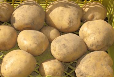Картофель для сибири — популярные сорта, выращивание
