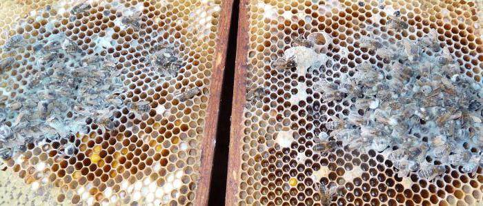 Что такое аскосфероз пчел, как его вовремя распознать и вылечить народными средствами