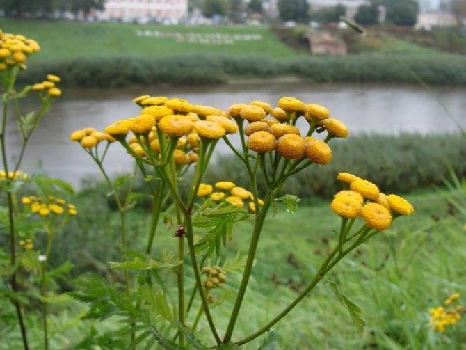 Цветок бессмертник: польза, особенности выращивания растения