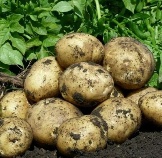 Сорт картофеля великан и информация о нем
