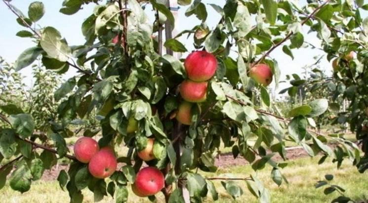 Сорт яблок пепин шафран