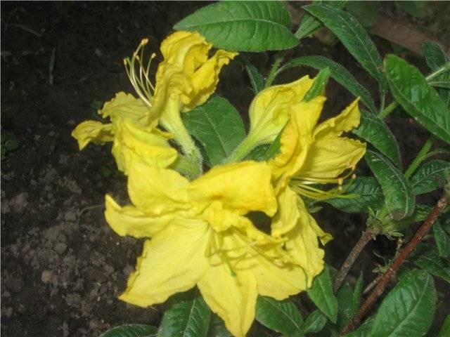 Описание лучших сортов рододендрона гибридного