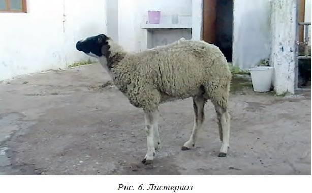 Нодулярный дерматит крупного рогатого скота: признаки, диагноз, профилактика и меры борьбы. |  ветеринарная служба владимирской области