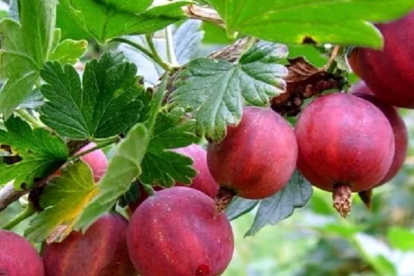 Штамбовый крыжовник —  технология и особенности выращивания