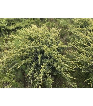 Можжевельник «холгер» (27 фото): описание, посадка и уход, особенности использования в ландшафтном дизайне сада