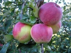 Яблоня пепин шафранный: рассказываем в общих чертах