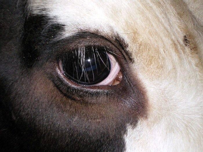 Почему быки реагируют на красный цвет? причины, фото и видео