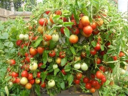 Самые странные и удивительные сорта томатов