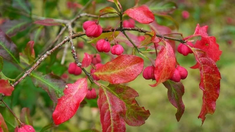 Бересклет бородавчатый (34 фото): описание дикорастущего растения с ягодами, посадка и уход за кустарником