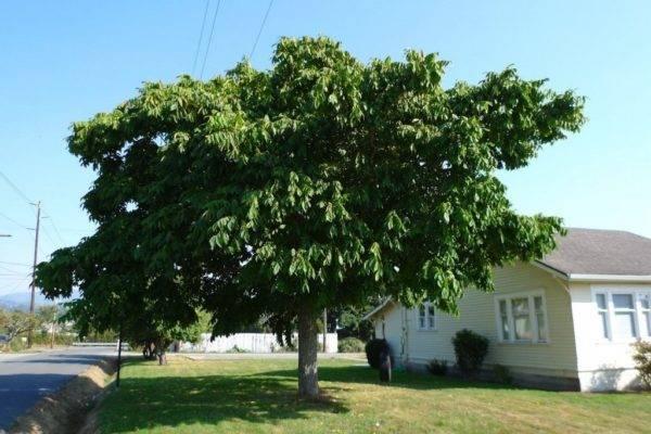 Выращивание грецкого ореха из плода в домашних условиях и дальнейший уход за ним