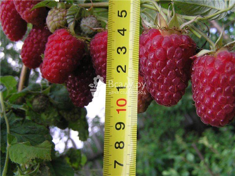 Малина 'туламин': описание, выращивание и характеристика сорта
