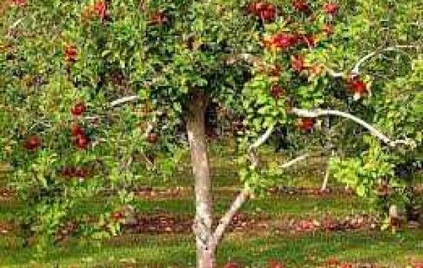 Сроки посадки яблони осенью в средней полосе России