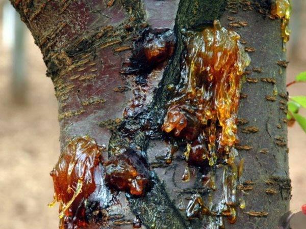 Трескается кора на груше, что делать и как её вылечить?