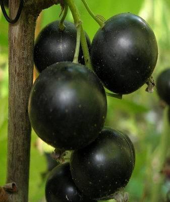 Черная смородина гулливер — освещаем тщательно
