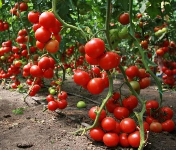 Выскоурожайный японский гибридный сорт томата «асвон f1»: описание, характеристика, посев на рассаду, подкормка, урожайность, фото, видео и самые распространенные болезни томатов