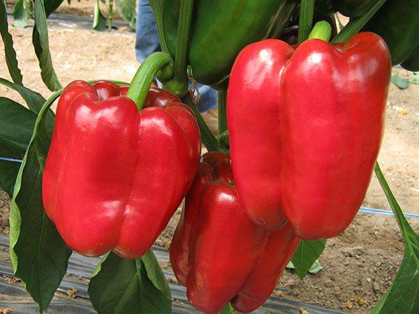 Сорт перца «красный бык» — описание и особенности выращивания