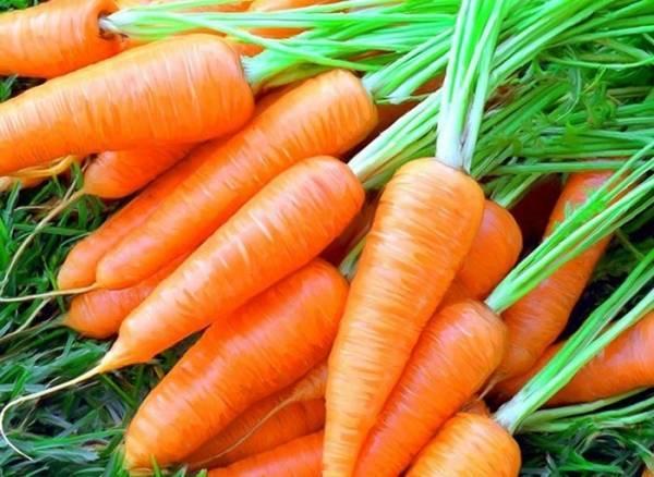 Морковь красный великан (роте ризен): описание и характеристика сорта, основные особенности, преимущества, недостатки, правила выращивания и урожайность