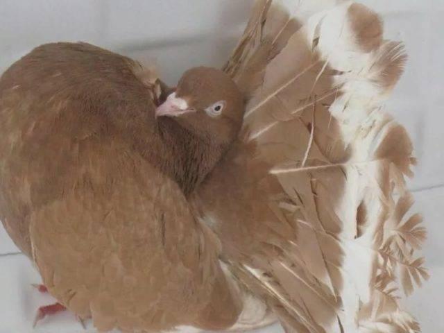 Статные голуби: описание породы, уход и содержание