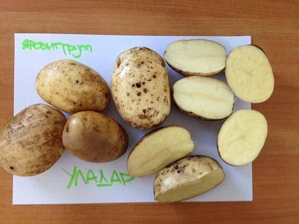 Что говорят о сорте картофеля гурман дачники, как выглядит этот экзотический сорт картошки
