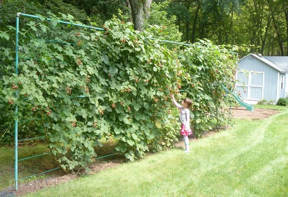 Особенности выращивания ежевики сорта карака блэк