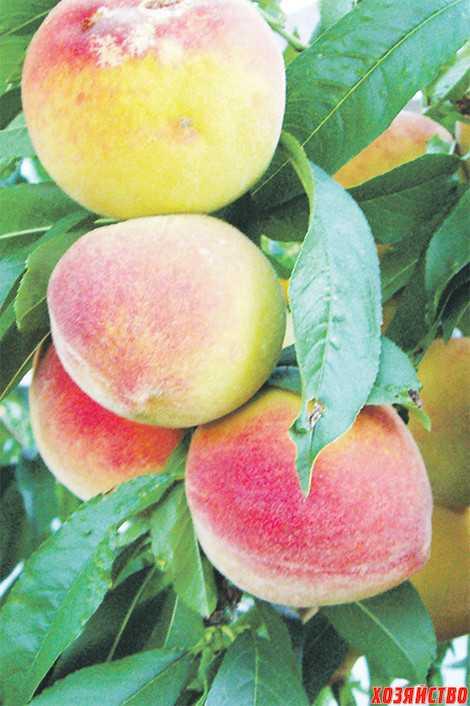 Персик гладкий — описание сорта и отзывы садоводов