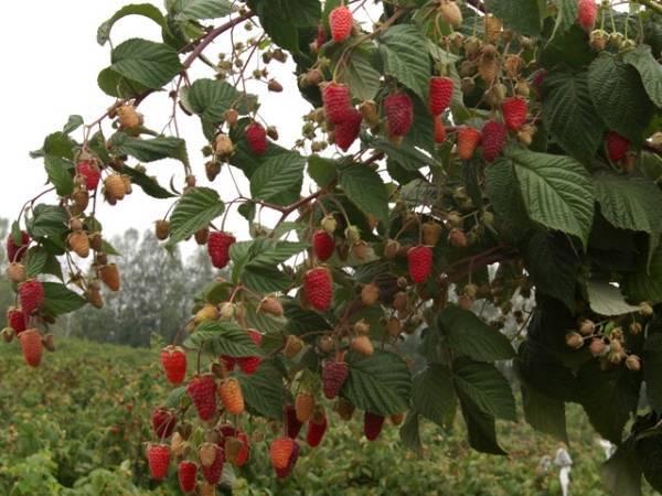 Малиновое дерево: отзывы, описание, урожайность и уход