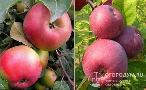 Сибирская яблоня заветное: описание, фото